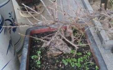 这是黑骨茶下山桩 还是小叶紫檀 图片