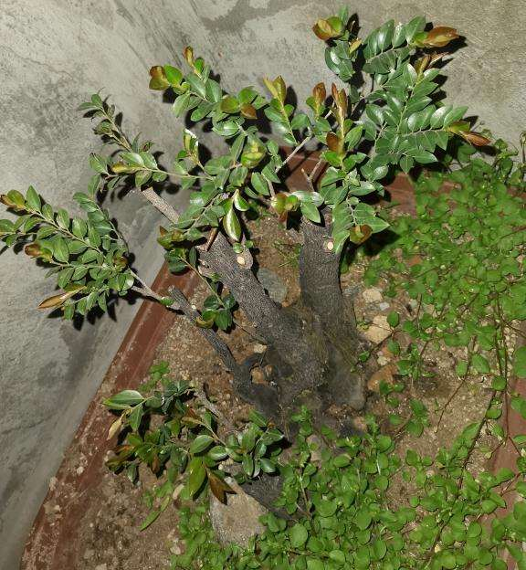 黑骨茶下山桩 去年一年没有发芽