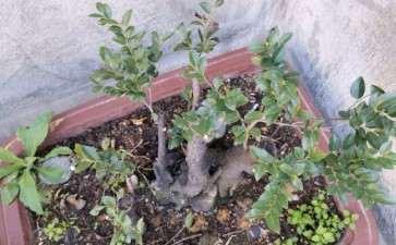 黑骨茶下山桩 去年一年没有发芽 怎么办