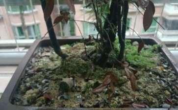 黑骨茶下山桩叶子变红褐色了 求救 图片