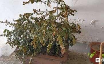 阳台黑骨茶下山桩 盆土干了 怎么办 图片