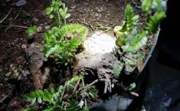 又两棵小石积下山桩来芽了 图片