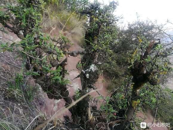 经典瘤包丛林小石积下山桩