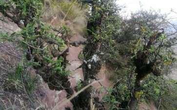 经典瘤包丛林小石积下山桩 图片