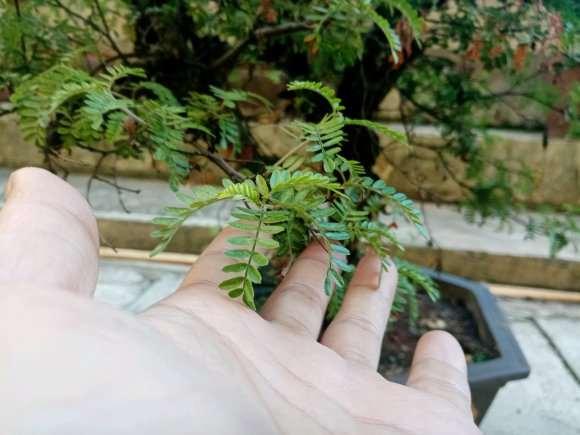 这是不是清香木下山桩 叶子超级小