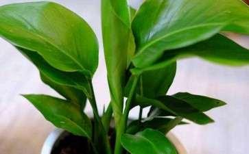 鹤望兰盆栽怎么盆土选择及换盆的要点