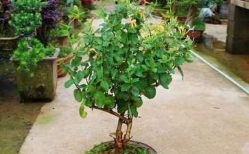 盆栽金银花怎么翻盆换土的方法