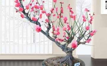 盆栽梅花专用品种怎么筛选的方法