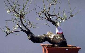 盆栽梅花怎么加速苗期树冠扩大