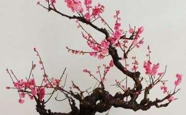 梅花盆栽怎么促进当年分化花芽