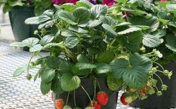 盆栽草莓怎么栽培及管理的4个方法