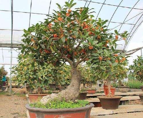 盆栽桂花怎么肥水管理的3个方法