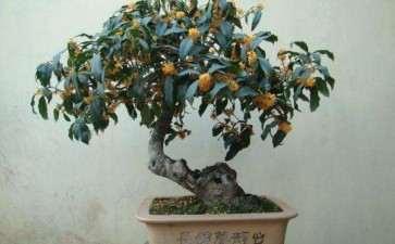 盆栽桂花怎么修剪整形的2个方法