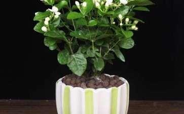 茉莉花盆栽怎么换盆的3个方法