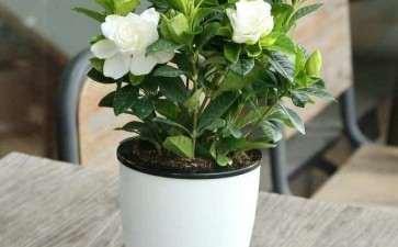 茉莉花盆栽怎么防治病虫害的2个方法