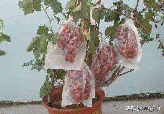 盆栽葡萄怎么施肥