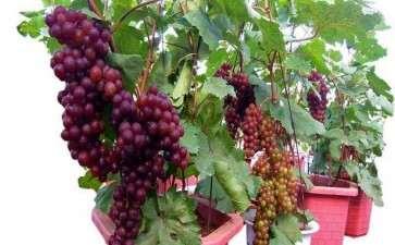 盆栽葡萄怎么植株分离的2个方法