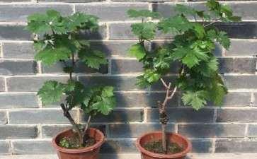 盆栽葡萄怎么病虫害防治的3个方法