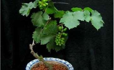 盆栽葡萄怎么整形修剪的3个方法