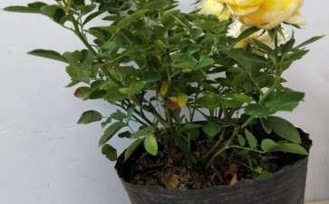 月季盆栽怎么上盆与换盆的4个方法