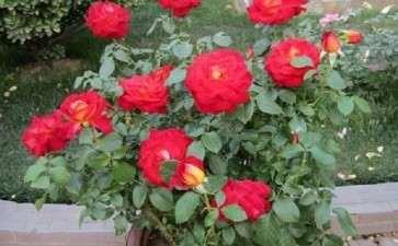 月季盆栽怎么施肥的4个方法