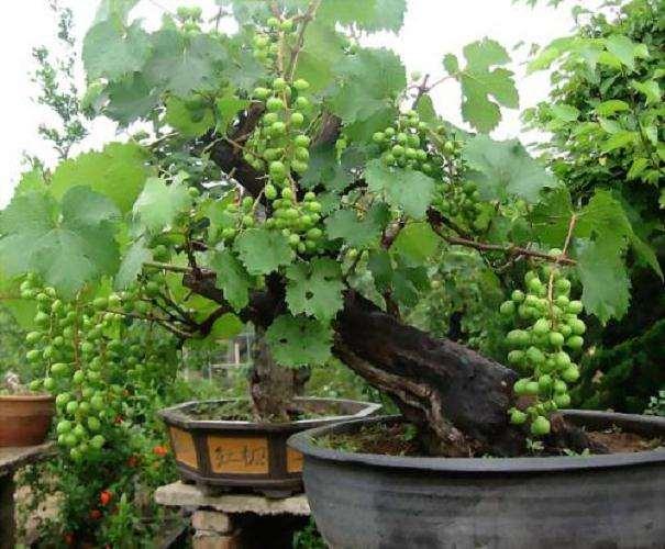葡萄怎么快速盆栽的8个技术