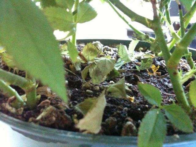 盆栽花卉叶片发黄的4个原因及预防措施