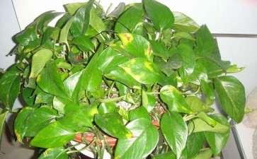 盆栽花卉叶片发黄的5个预防措施