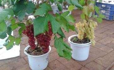如何盆栽葡萄的4个方法 图片