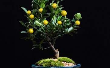 提高盆栽金桔着果率的5个技术措施