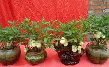 怎么制作人参果盆栽的5个方法