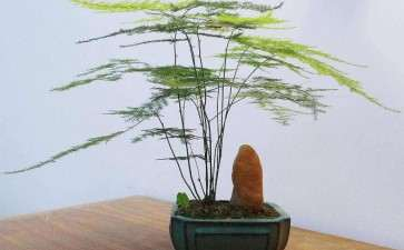 文竹盆栽怎么浇水施肥的7个方法