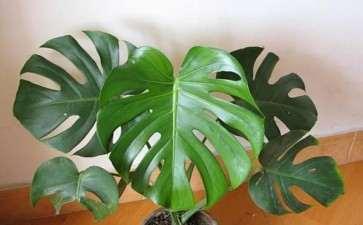 怎么室内盆栽斜叶龟背竹的5个方法