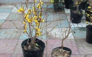 盆栽腊梅怎么适期修剪的3个方法