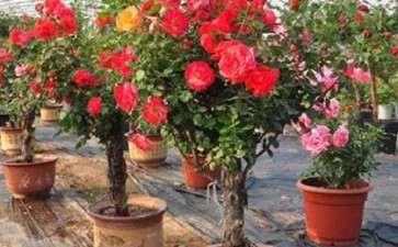 盆栽月季怎么修剪及花期控制