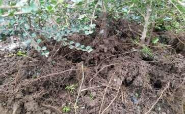 荀子下山桩在哪个季节挖容易成活