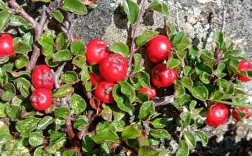 栒子下山桩叶子开始红了 怎么样 图片