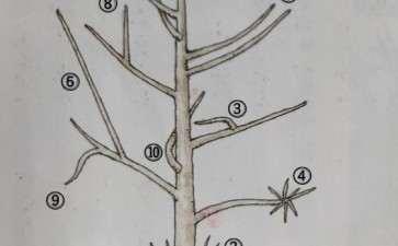 槭树盆景在冬季修剪的方法 图片