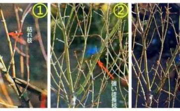 冬季槭树盆景怎么修剪剪枝的方法