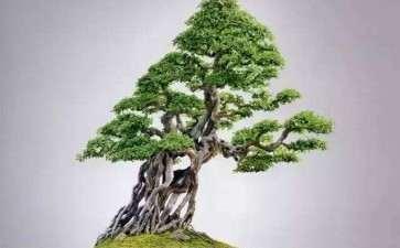 雀梅盆景育桩阶段怎么施肥的3个方法