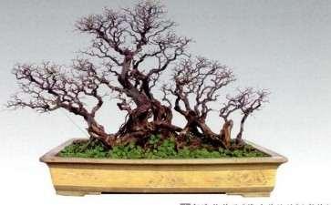 雀梅盆景育桩阶段怎么修剪的2个方法