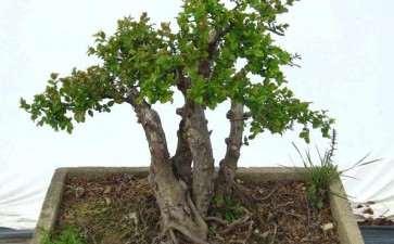 雀梅盆景造型培育阶段怎么修剪的4个方法
