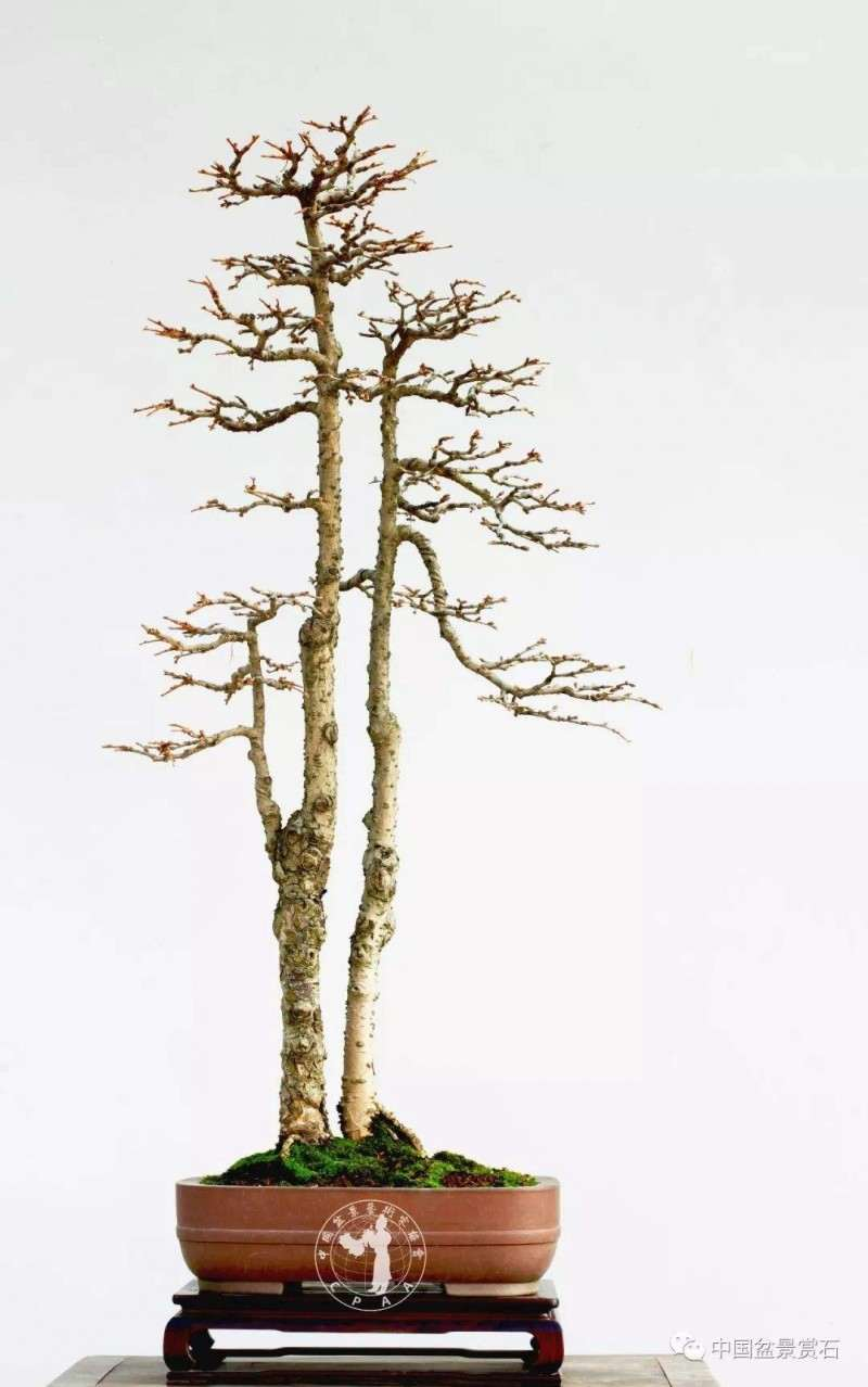 文人树 文人盆景与文人画有什么关系
