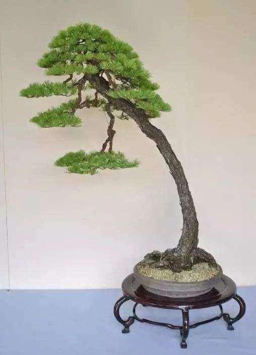 文人树盆景的特征及精神有哪些