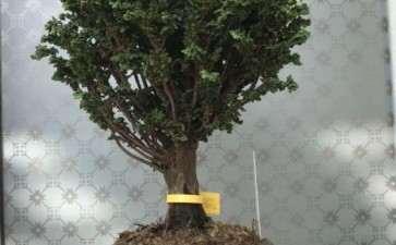 这棵石化桧盆栽 2000元贵吗 图片