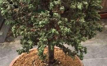 石化桧盆栽叶片发干了 怎么办 图片
