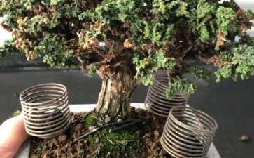 石化桧盆栽枯枝越来越多 怎么办 图片
