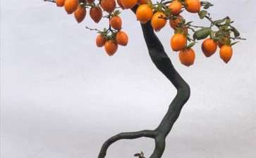 老鸭柿下山桩结了很多果子 可以吗 图片