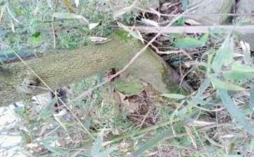 这是老鸭柿下山桩吗 下边尖尖的 图片