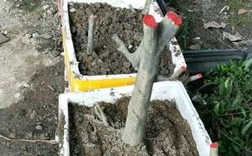 3月挖的老鸭柿下山桩 不用缠膜 可以吗
